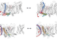 Representación de los dos modelos de acoplamiento de voltaje en un canal iónico de potasio (canónico y no canónico). / Fernández-Mariño et al./WISC