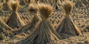 paja de arroz economia circular